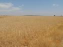 Wheat Zone A