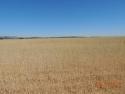 Wheat Zone B