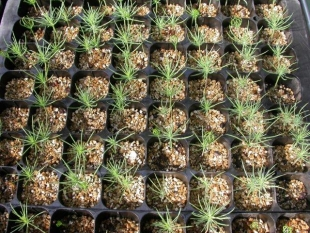 Preparation of plants and tracking germination